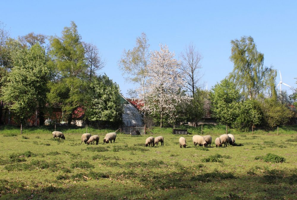 Ostbevern Touristik e.V. - Schafe im Schirl