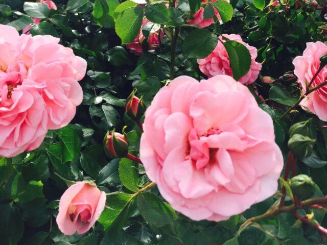 Rosenkosten und mehr